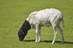 Somalische weiden lassende Schafe stockfotografie