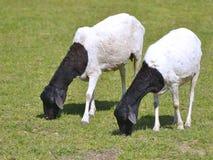 Somalische weiden lassende Schafe stockfotos