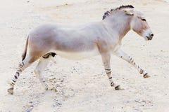 Somalische wilde ezel royalty-vrije stock fotografie