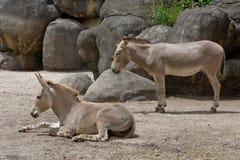 Somalische wilde ezel royalty-vrije stock afbeelding