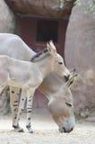 Somalische wilde ezelsbaby en moeder Stock Foto's