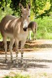 Somalischer wilder Esel lizenzfreie stockbilder