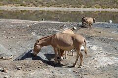 Somalischer wilder Esel (Equus africanus somalicus) in EL-Grasschollekratersee Äthiopien Stockbilder