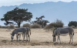Somalischer Wildesel (Equus africanus) Lizenzfreies Stockfoto