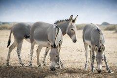 Somalischer Wildesel (Equus africanus) Stockfotografie