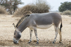 Somalischer Wildesel (Equus africanus) Lizenzfreies Stockbild