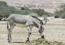Somalischer Wildesel (Equus africanus) im israelischen natur Lizenzfreies Stockbild