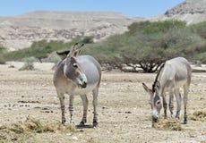 Somalischer Wildesel (Equus africanus) im israelischen Naturreservat Lizenzfreie Stockfotos