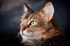 Somalisches Katzeportrait stockbilder