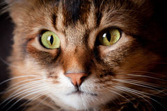 Somalisches Katzeportrait stockfoto