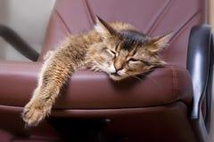 Somalisches Katzeportrait lizenzfreie stockbilder