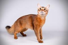 Somalisk katt på kulöra bakgrunder arkivfoton