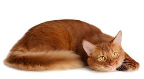 Somalisk katt som isoleras på vit bakgrund Royaltyfri Bild