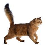Somalisk katt som isoleras på vit bakgrund Arkivfoton