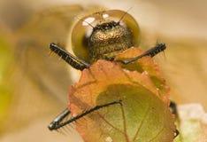 Somatochlora flavomaculata Royalty Free Stock Photo