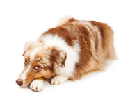 Somber Australian Shepherd Dog Laying. A somber Australian Shepherd Dog laying with its head down on front paws. The dog is looking upwards towards the camera Royalty Free Stock Photos