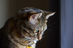 Somber cat looking down, indoors, domestic breed tabby. Cat looking sad and facing towards window with collar on royalty free stock photos
