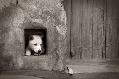 Somber dog. One somber dog inside dog-hole beside a wood door Stock Photography