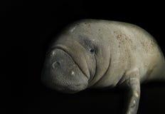 Somber Manatee. Somber Florida manatee (Trichechus manatus latirostrus) isolated on a black background stock image