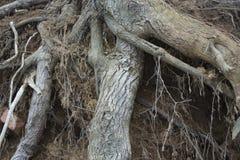 Sombere bosboomwortels in de grond Stock Afbeelding