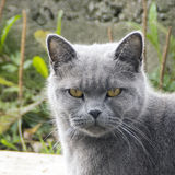 Sombere grijze kat in openlucht Stock Fotografie