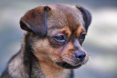 Sombere Hond Stock Foto's