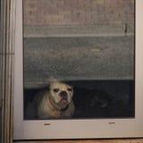 Sombere hond Royalty-vrije Stock Foto's