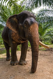 Somboon the old lovely elephant. Somboon the old happy retired elephant Stock Photography