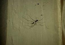 Sombra da aranha: Aranha do opili?o, plochei de Holocnemus foto de stock