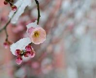 A sombra da neve imediatamente, o blosso da ameixa Imagem de Stock Royalty Free