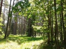 Sombra de árboles en bosque de la mañana Fotografía de archivo