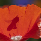 Sombra de la abeja Foto de archivo