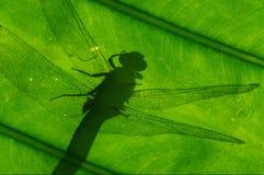 Sombra de la libélula Fotografía de archivo