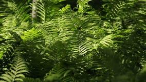 Sombra de Sun do verde da mola das samambaias de Fiddlehead video estoque