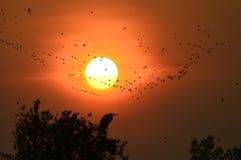 Sombra de un poco vuelo del pato que silba Fotos de archivo