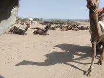 Sombra del camello imágenes de archivo libres de regalías