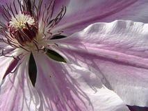 Sombra del Clematis Fotografía de archivo