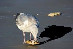 A sombra para os olhos da gaivota imagens de stock royalty free