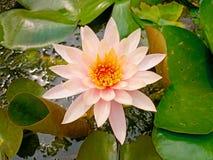 Sombra rosada de la flor y de la abeja de loto blanco Imagen de archivo