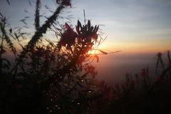 Sombra vermelha cor-de-rosa da flor de trombeta do rosyin da natureza na frente dos raios dourados do brilho claro do alvorecer a Fotos de Stock