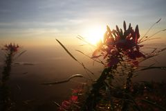 Sombra vermelha cor-de-rosa da flor de trombeta do rosyin da natureza na frente dos raios dourados do brilho claro do alvorecer a Imagens de Stock Royalty Free