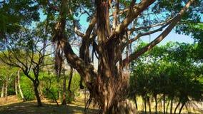 Sombras bajo ramas enormes con las hojas metrajes