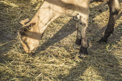 Sombras da cerca sobre a cabra Fotografia de Stock Royalty Free