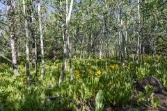 Sombras da manhã em um bosque de tremer álamos tremedores e as orelhas amarelas do ½ s do ¿ de Muleï fotos de stock