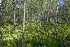 Sombras da manhã em um bosque de tremer álamos tremedores e as orelhas amarelas do ½ s do ¿ de Muleï foto de stock