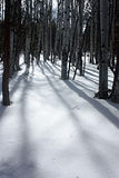 Sombras de Aspen na neve Imagens de Stock Royalty Free