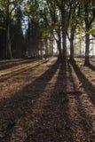 Sombras del árbol en bosque de la haya en Escocia Foto de archivo libre de regalías