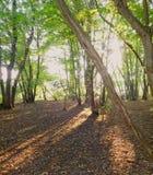 Sombras 1 del arbolado de las tardes fotografía de archivo libre de regalías