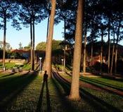 Sombras do pinho Imagem de Stock Royalty Free