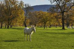 Sombras fuertes delanteras del contraste del paseo del caballo blanco Imagenes de archivo